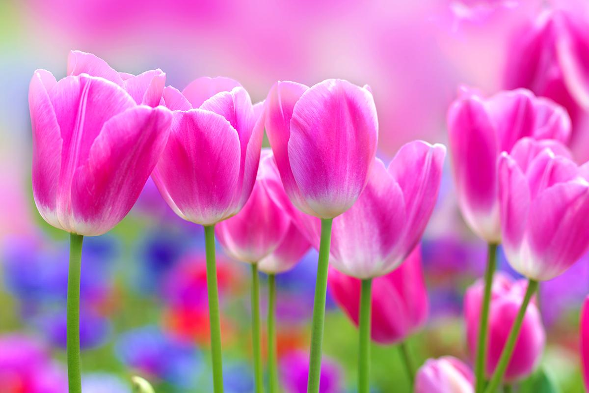 web-flower-tulip-shutterstock_113803318